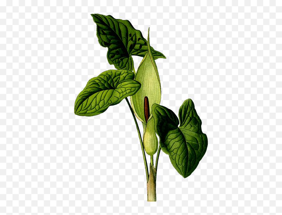 Free Garden Flower Vectors - Transparent Png Poison Plants Png Emoji