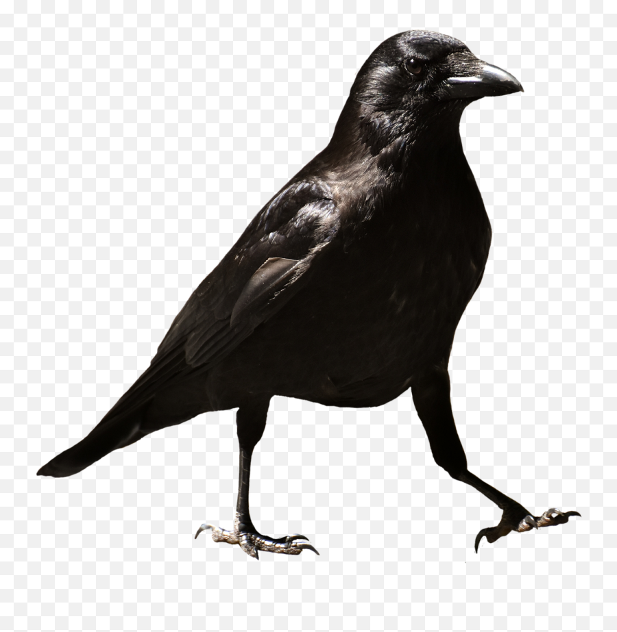 Common Raven Raven Raven Bird Crow - Raven Bird Png Transparent Background Emoji