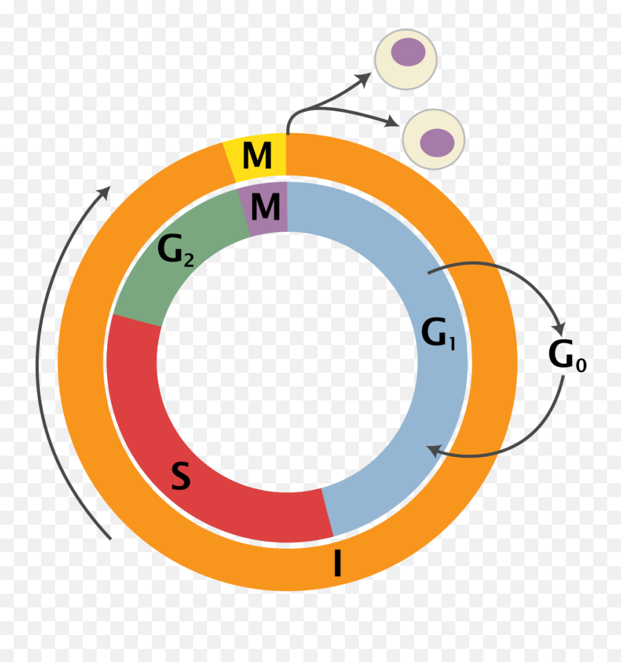 Cell Cycle 2 - Cell Cycle Png Emoji,Mean Emoji Texts