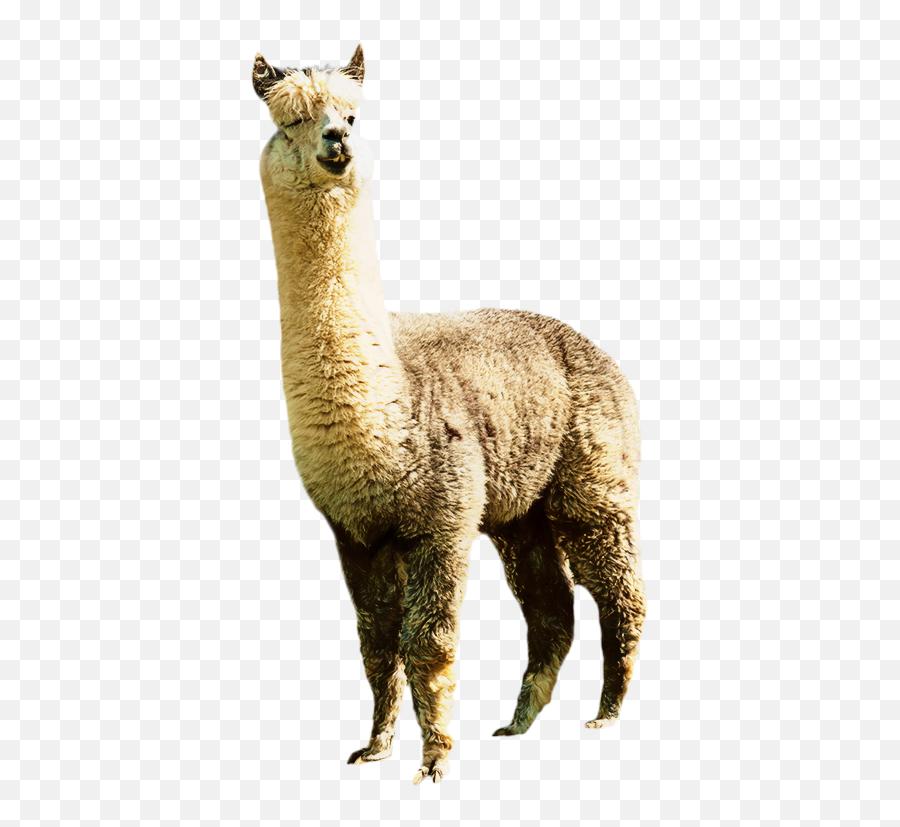 Transparent Clipart Llama - Llama Transparent Emoji,Llama Emoji Iphone