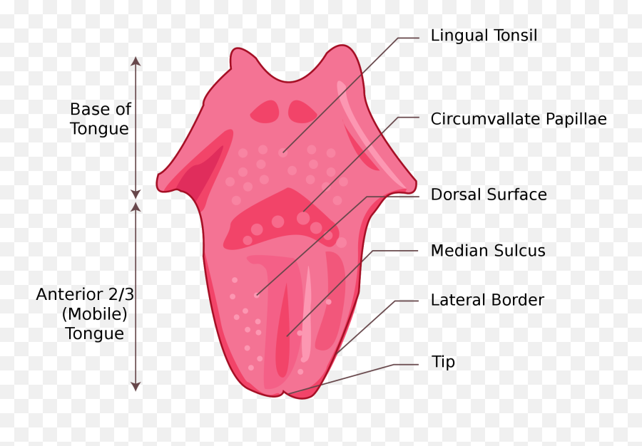 Tongue - Simple Tongue Diagram Emoji