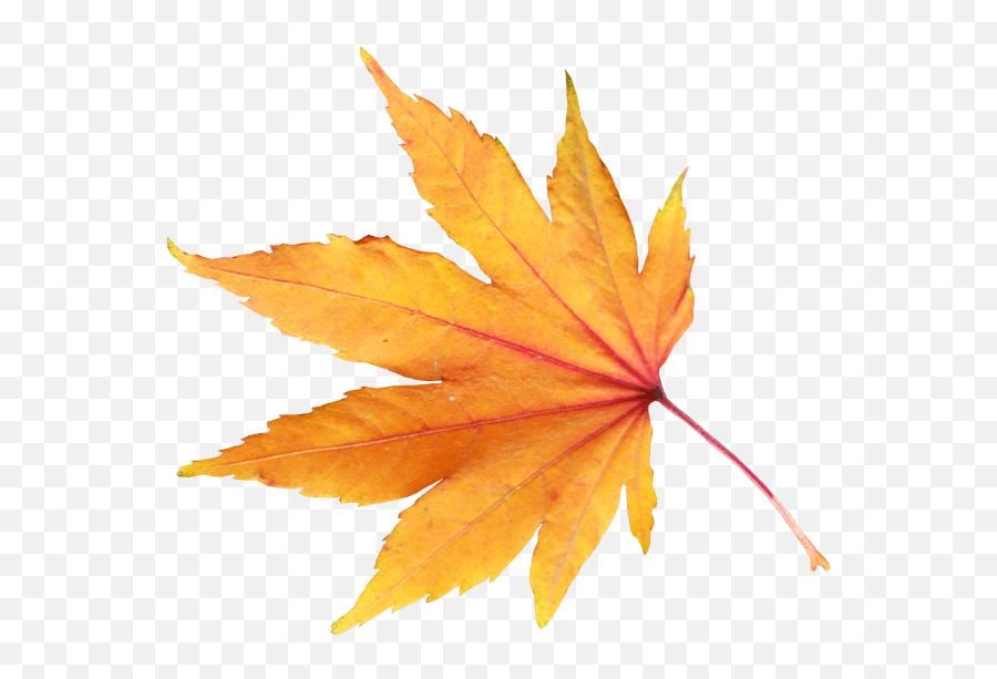 Download Autumn Png Leaf Hq Png Image - Fall Leaf With Transparent Background Emoji,Autumn Leaf Emoji