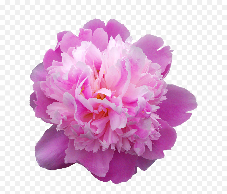 1 Free Peonies Peony Images - Peonia Png Emoji,What Does The Peach Emoji Mean