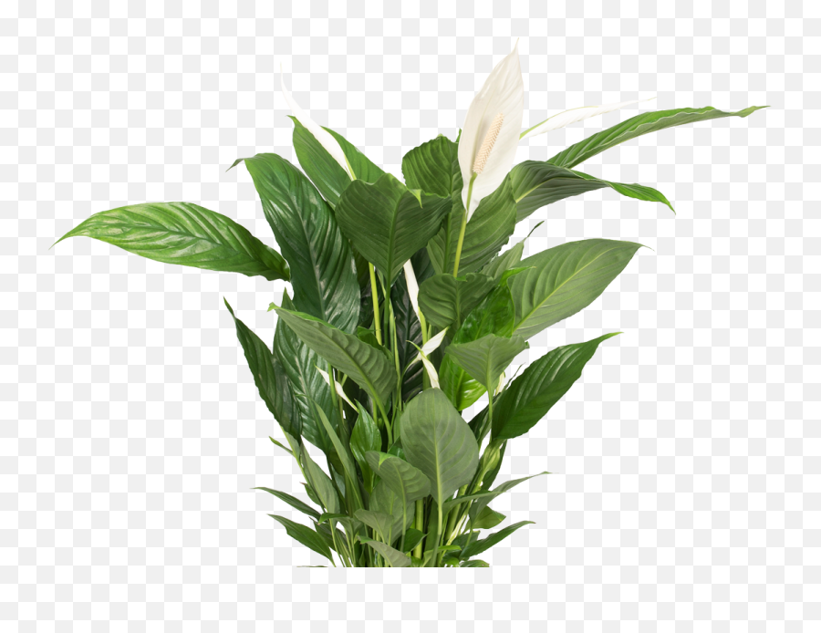 Free Plant Transparent Background Download Free Clip Art - Transparent Background Plants Png Emoji