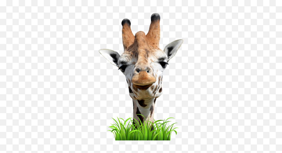 Live Giraffes U2013 Funny Stickers Smileys U0026 Emoji By Lively Technology - Northern Giraffe,Donkey Emoji Iphone