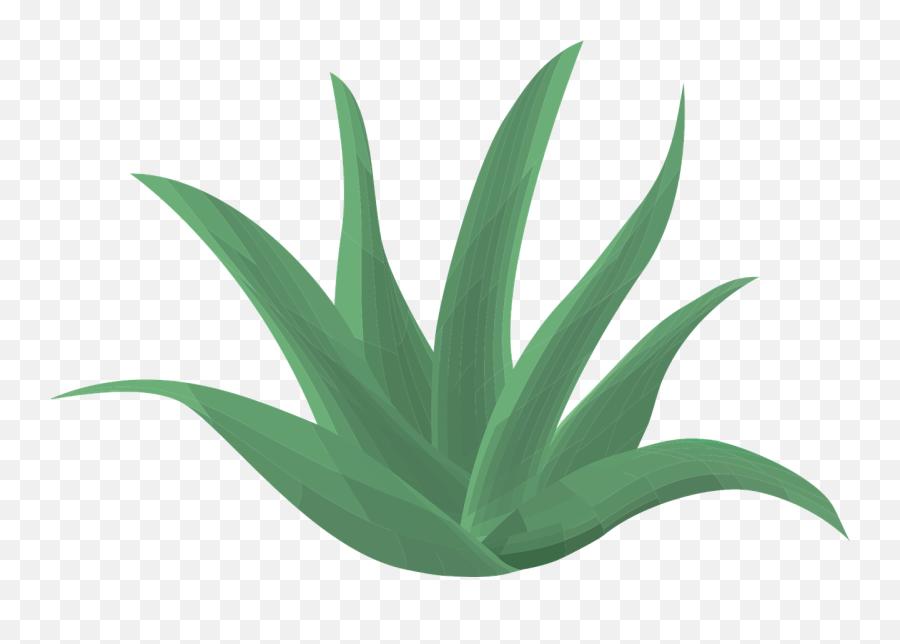 Aloe Vera Plant Green Aloe Vera - Aloe Vera Transparent Back Emoji