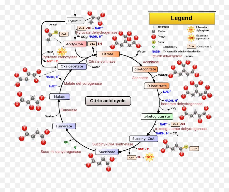 Citric Acid Cycle With Aconitate 2 - Citric Acid Tca Cycle Emoji