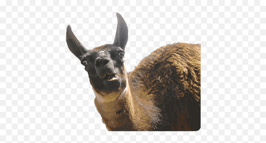 Animal Photobombs - Llama Emoji,Llama Emoji Iphone