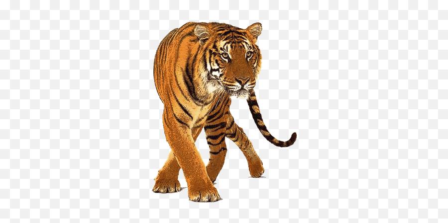 Tiger Tigers Terrieasterly - Tiger Transparent Background Emoji,Tiger Emoji