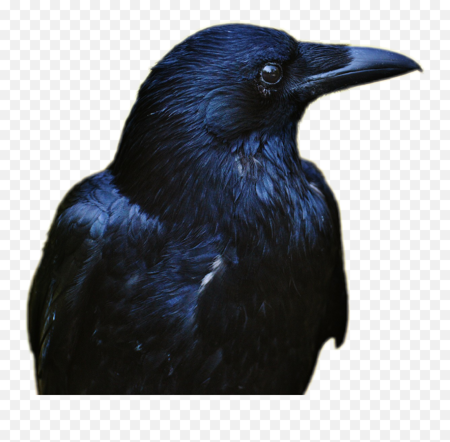 Raven Bird Black Rabe Tier Schwarz - Raven Eye Emoji