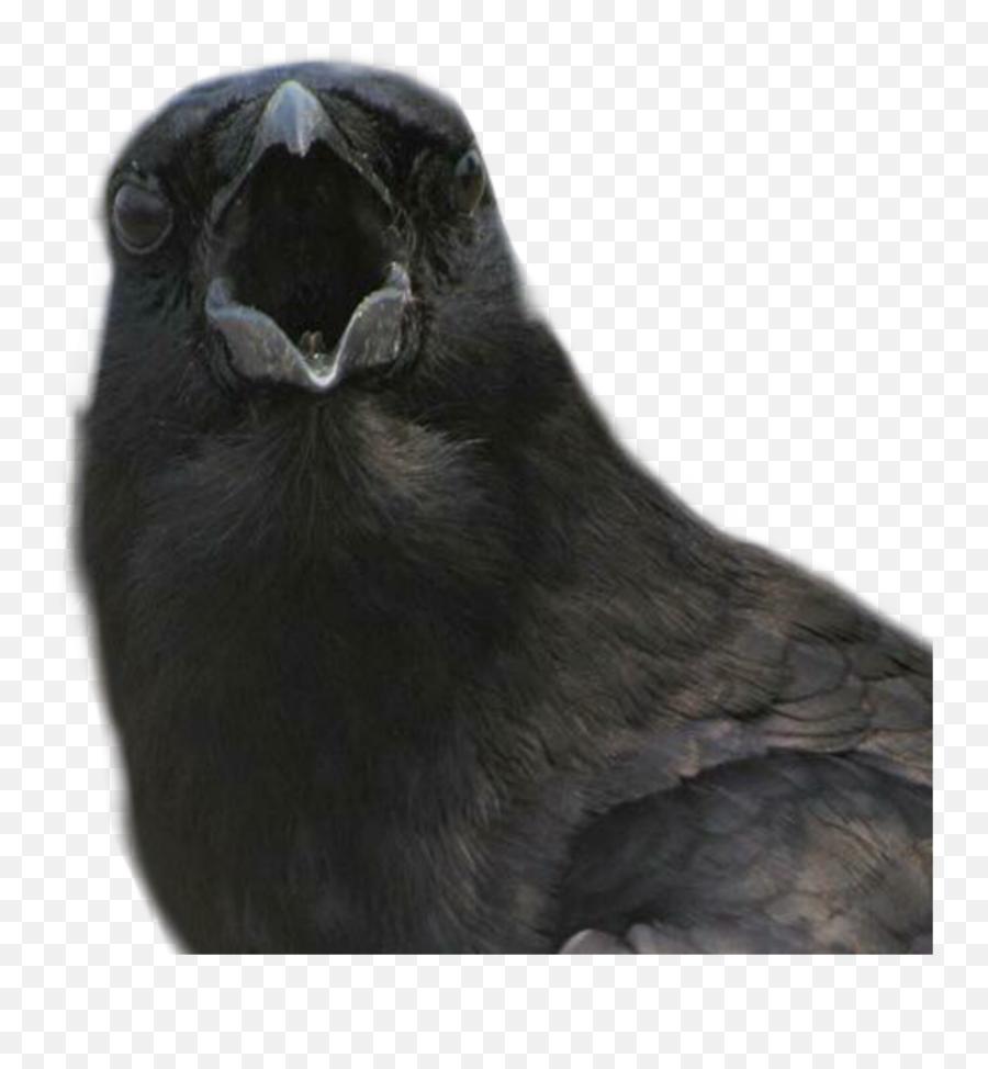 Crow Bird Raven Sticker Freetoedit - Crow Emoji
